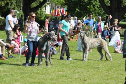 Farnleigh - Irish Wolfhound 2013 06 09 (25)