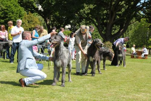 Farnleigh - Irish Wolfhound 2013 06 09 (48)