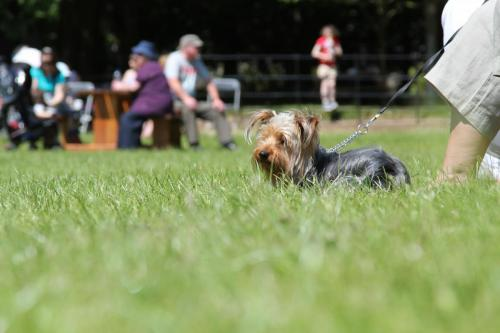 Farnleigh - Irish Wolfhound 2013 06 09 (77)
